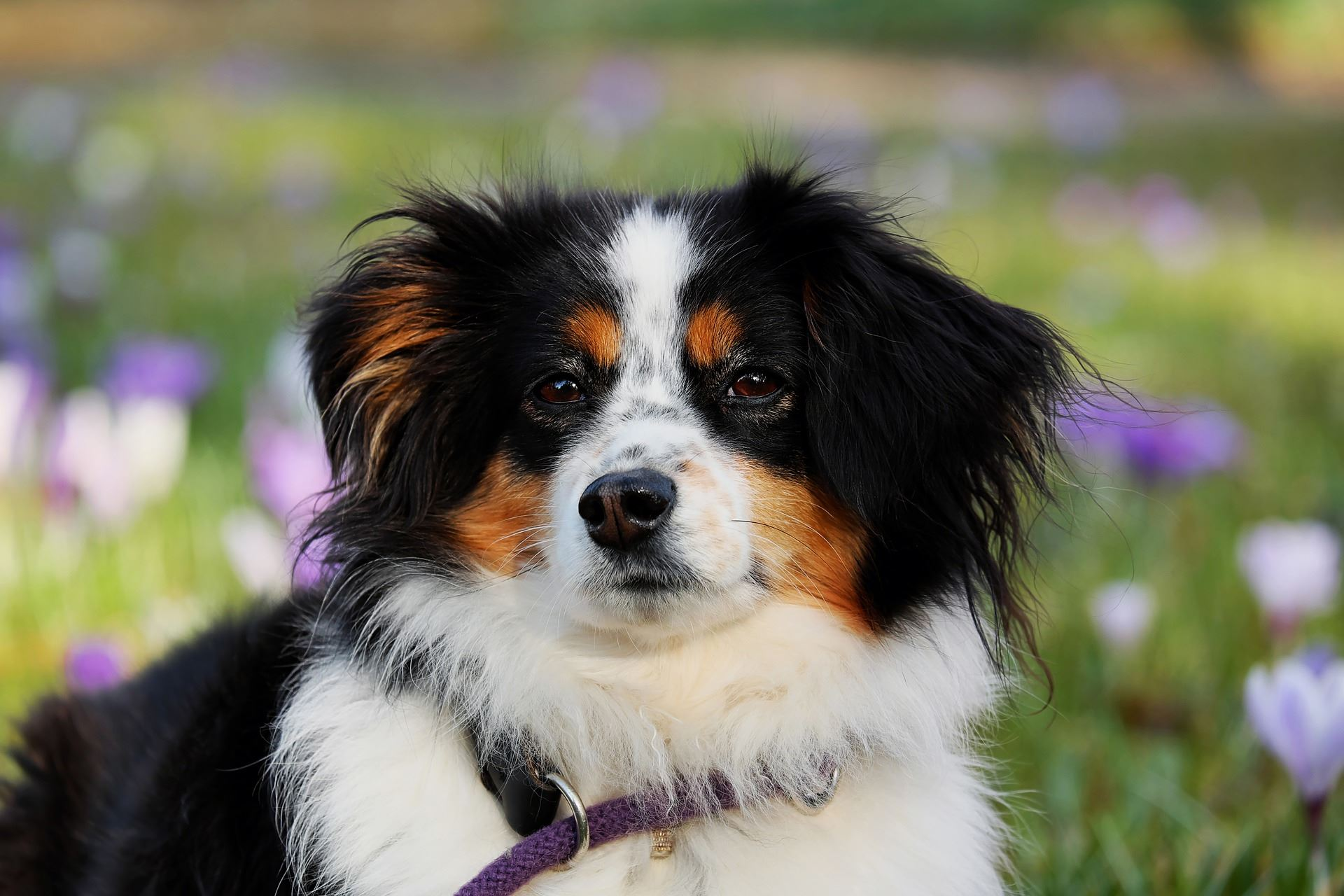 australian shepherd dog in flower field